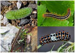 Schmetterlinge im Fressstadium: RAUPEN... (7) - Bientôt ces chenilles seront des papillons!