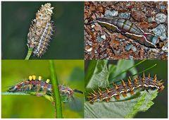 Schmetterlinge im Fressstadium: RAUPEN... (8) - Bientôt ces chenilles seront des papillons!