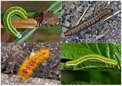 Schmetterlinge im Fressstadium: RAUPEN... (9) - Bientôt ces chenilles seront des papillons!
