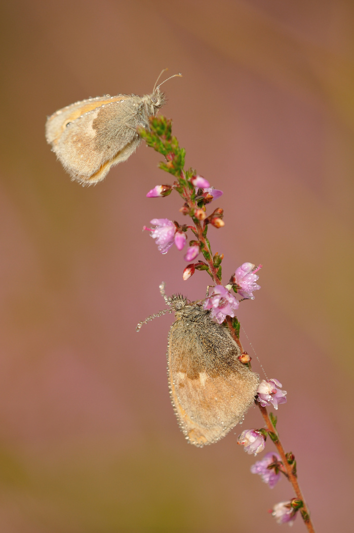 Schmetterlinge im Morgennebel