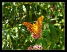 Schmetterlinge im Tal der Muga bei Albanya