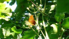 Schmetterlinge in den Abruzzen (Lago di Campotosto)