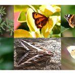 Schmetterlinge in den Pinienwälder an der Costa Brava 2003/2004