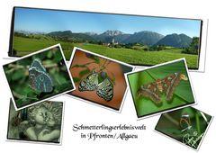 Schmetterlinge in Pfronten/Allgäu ab Juni 2010 fliegen sie wieder