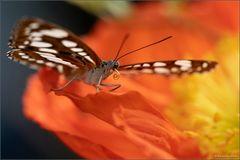Schmetterlinge in Stainz II