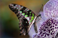 Schmetterlinge in Stainz IV
