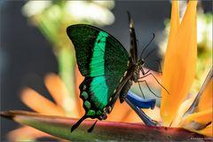 Schmetterlinge in Stainz V