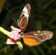 Schmetterlinge - Passionsfalter