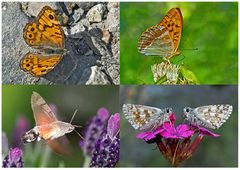 Schmetterlinge schenken Freude! (1) * - Un regard en arrière et en avant: papillons.