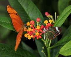 Schmetterlinge The Flame Dryas julia und Greta Oto