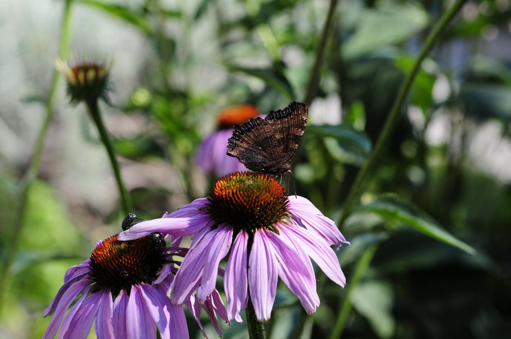 Schmetterlings Blumen