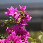 Schmetterlings Bougainvillea