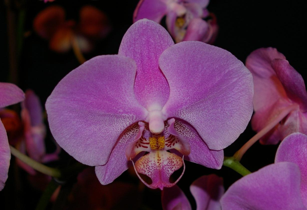 Schmetterlings- Orchidee