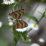 Schmetterlings Paarung