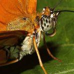 Schmetterlings - Profil