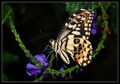 Schmetterlings- Schaukel