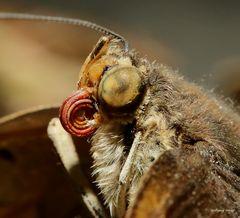 Schmetterlingsauge und Rüssel im Detail