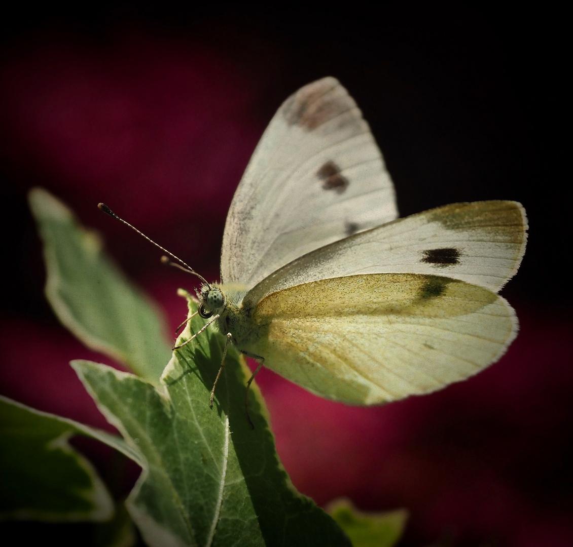 Schmetterlingsbesuch