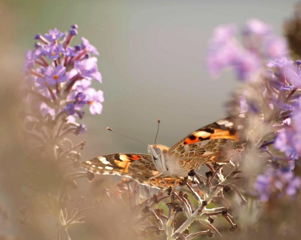 Schmetterlingsblütler