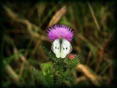 Schmetterlingsbüffet