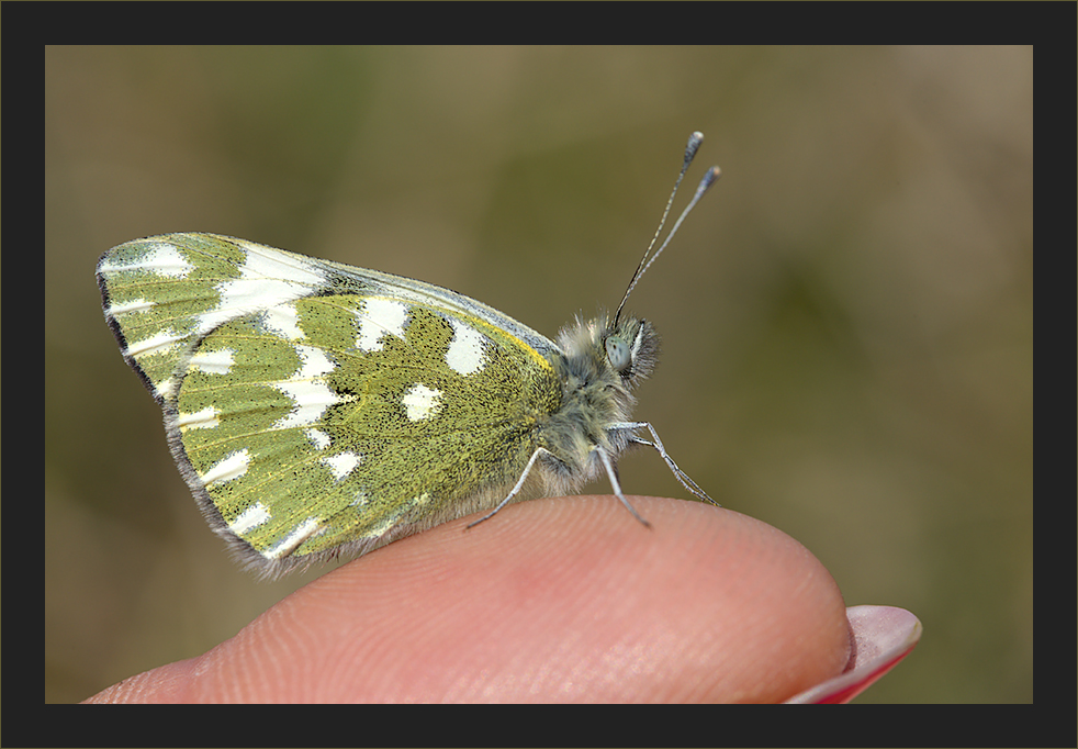Schmetterlingsdressur 30.3.2008