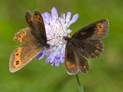 Schmetterlingsduett