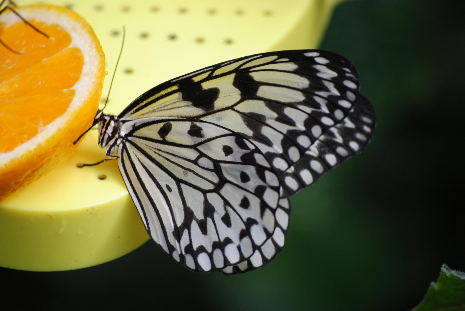 Schmetterlingsfarm 4