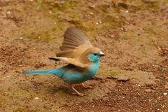 Schmetterlingsfink (auch Blauastrild - Uraeginthus angolensis)