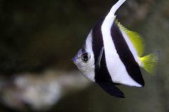 Schmetterlingsfisch