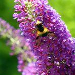 Schmetterlingsflieder m i t Besucher......!!!!
