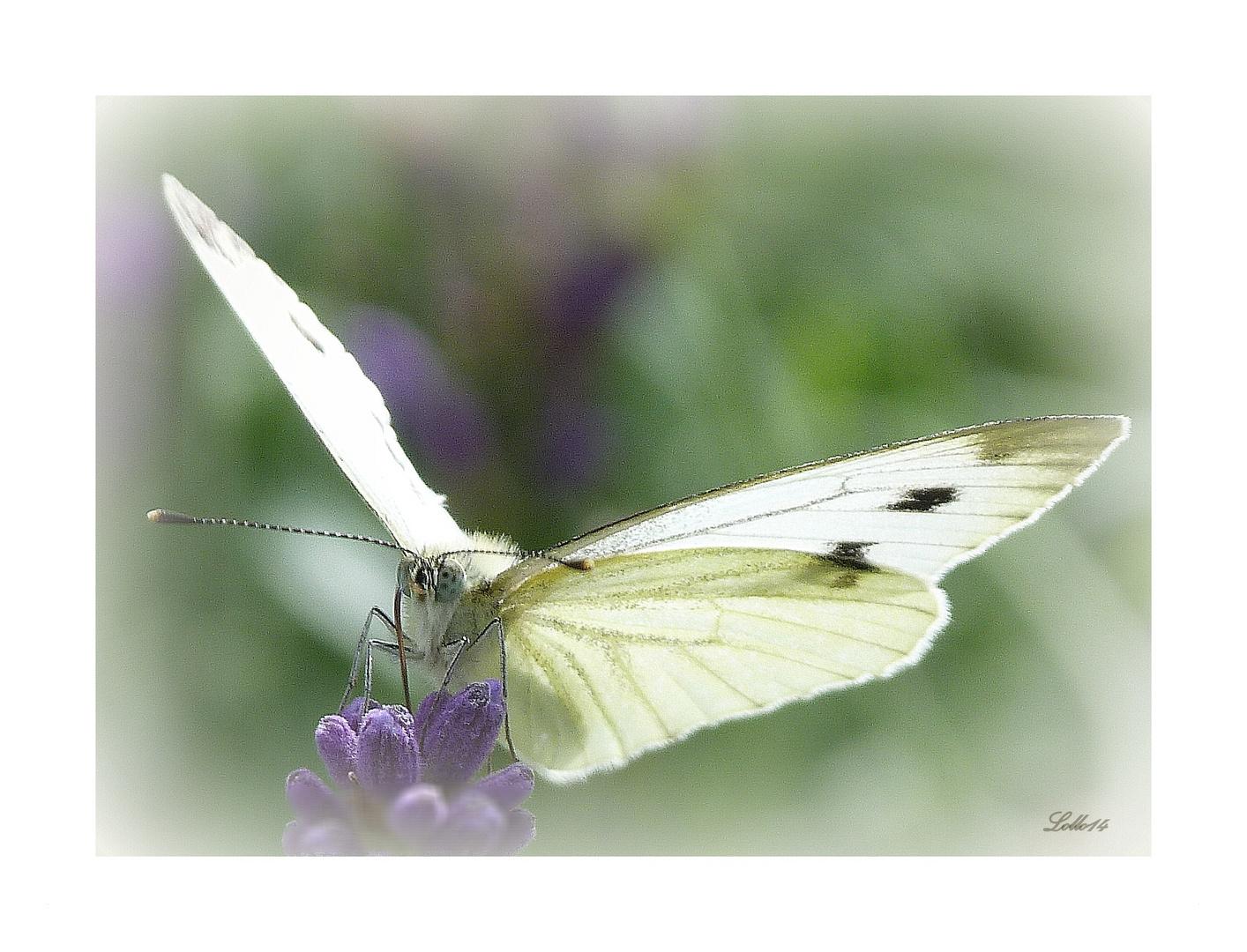 Schmetterlingsflügel ...