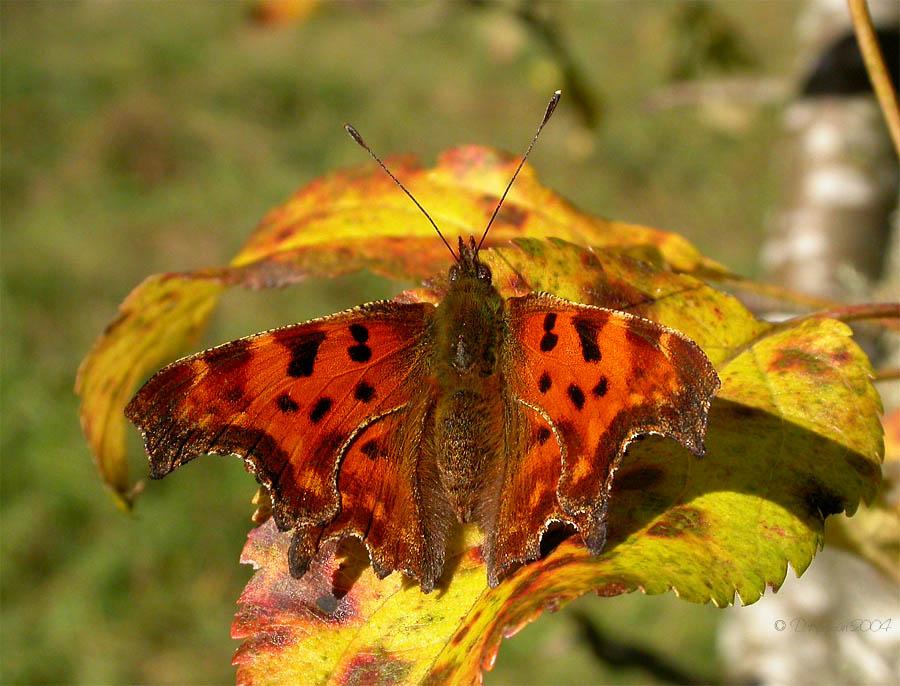 Schmetterlingsfreier Sonntag mißglückt!