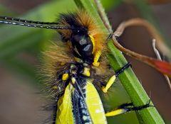 Schmetterlingshaft, frisch geschlüpft (Libelloides coccajus) - Ascalaphe soufré, un baby ...