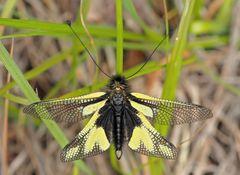 Schmetterlingshaft (Libelloides coccajus), ein Männchen. - L'Ascalaphe soufré, un mâle.