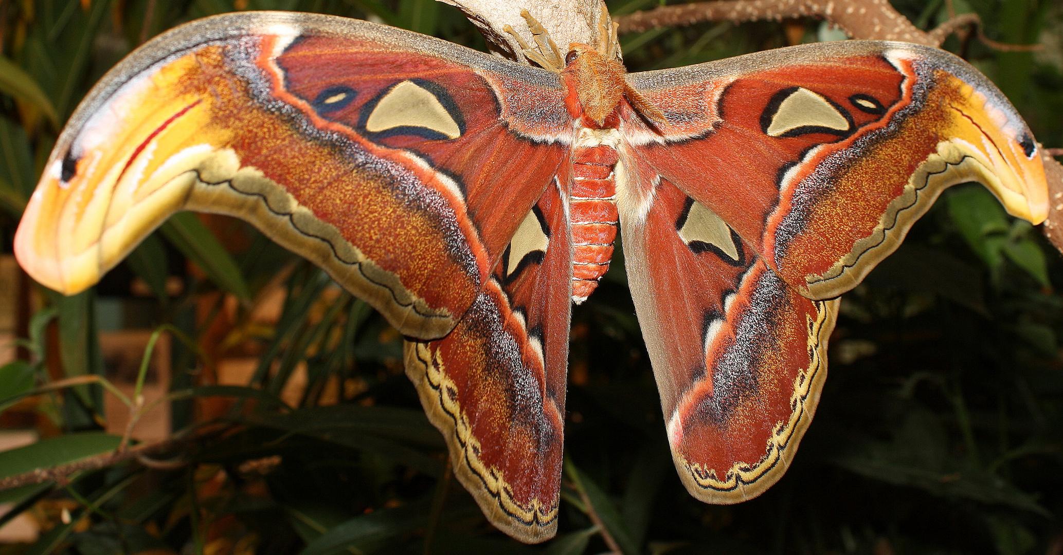 Schmetterlingshaus(Atlasspinner)