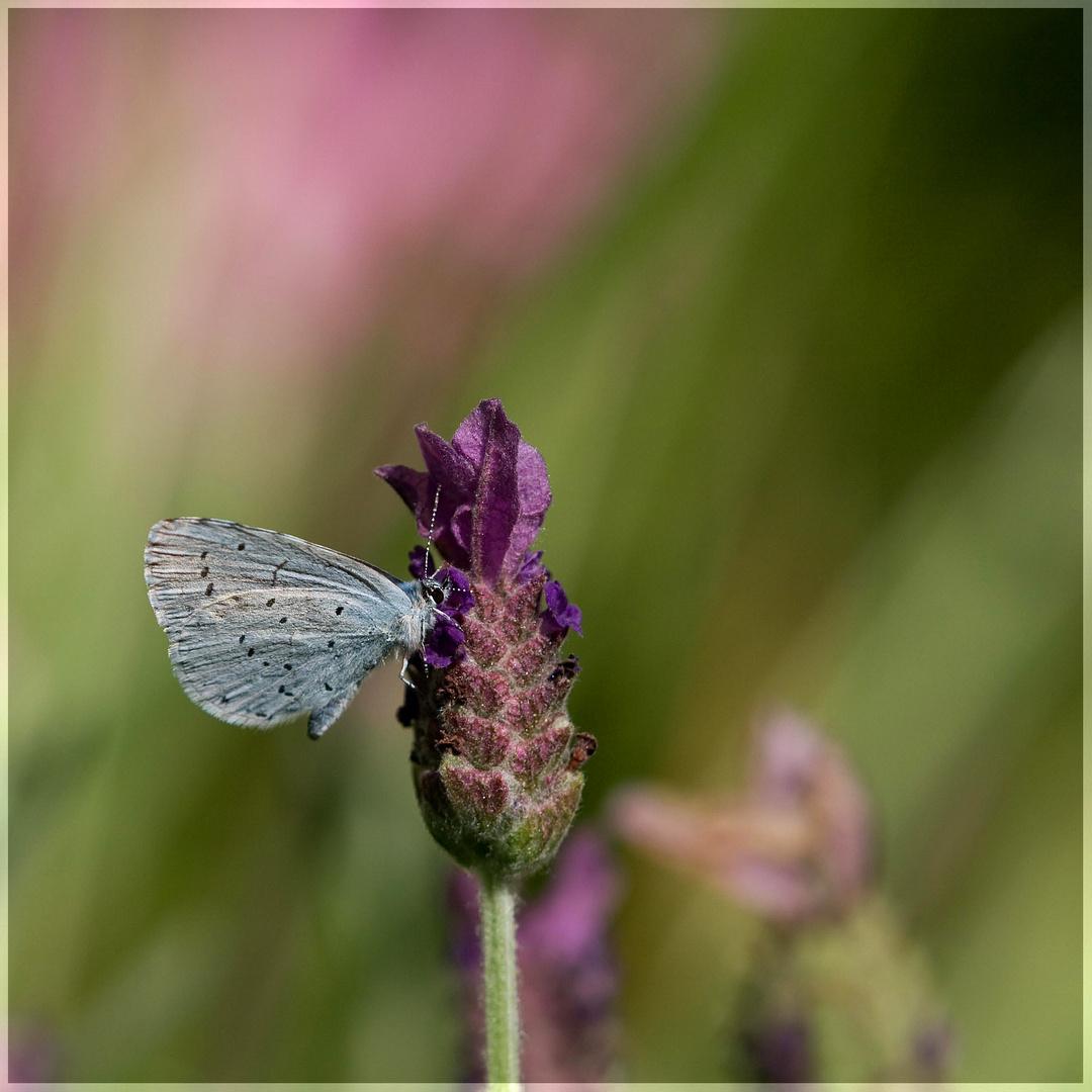 Schmetterlingslavendel...