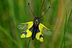 Schmetterlingslibellenhaft