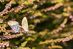 Schmetterlingsliebe (1)