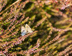 Schmetterlingsliebe (3)