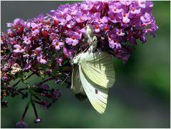 Schmetterlingsmord!