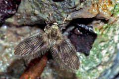 Schmetterlingsmücke (Psychodidae) - ein Winzling! - La mouche à drains.