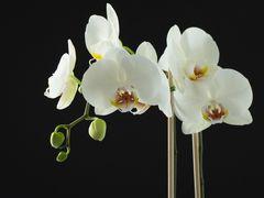 Schmetterlingsorchidee.