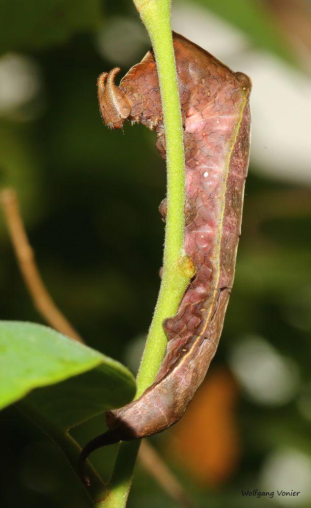 Schmetterlingsraupe im Schmetterlingshaus auf der Insel Mainau