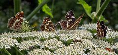 Schmetterlingsversammlung auf einer Giersch-Dolde!
