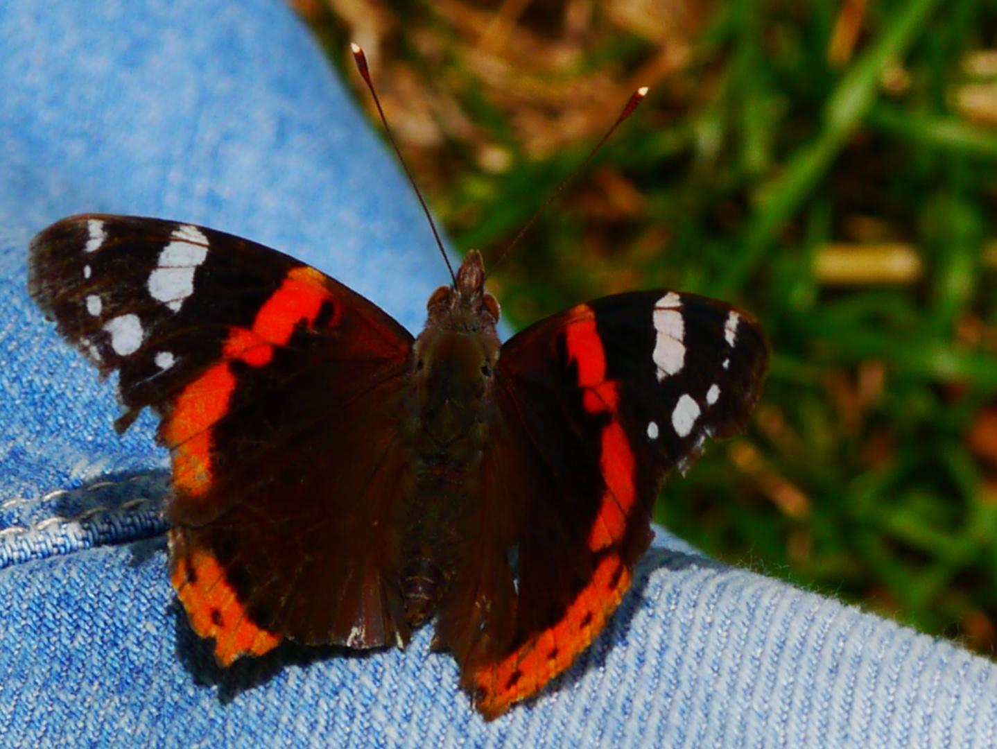 Schmetterlingsvertrauen