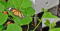 Schmetterlingsweibchen bei der Eiablage