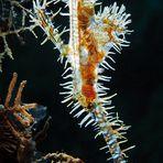 Schmuck-Geisterpfeifenfisch