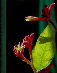 Schmuse-Blume