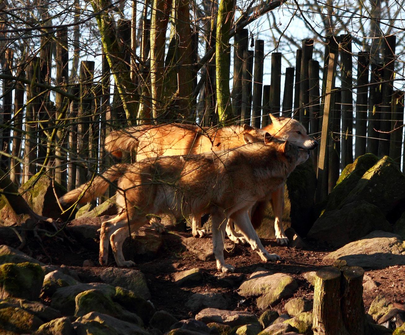 Schmusende Wölfe