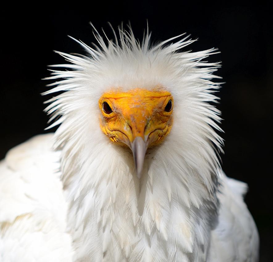 Schmutzgeier, Egyptian vulture, Alimoche (Neophron percnopterus)